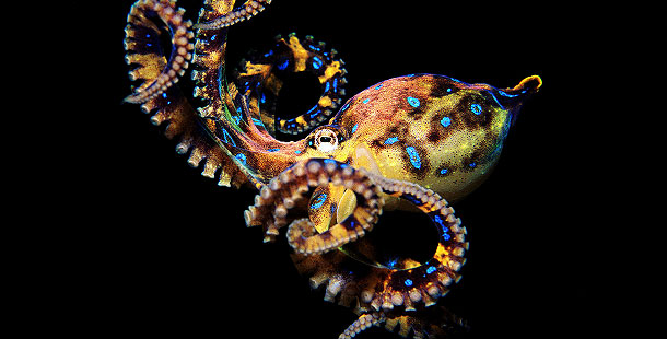 610_ag_blue-ringed-octopus