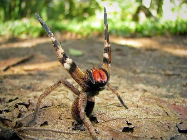 facts-about-brazilian-wandering-spider-for-kids