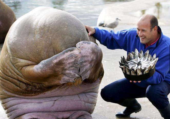 Walrus embarrassed by fish birthday cake | ViralSwarm.com